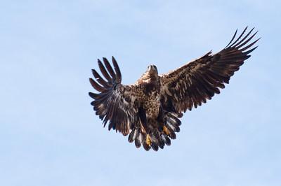 Juvenile Blad Eagle 2