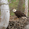 Bald Eagle with Eaglet