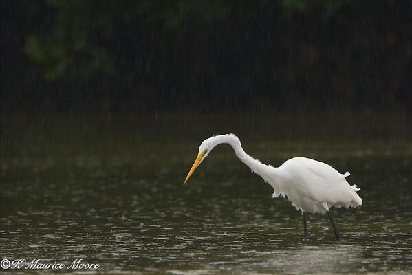Great Egret, Little Estero Lagoon, Fort Myers Beach, Fl