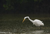 Great Egret, Little Estero Lagoon, Fort Myers Beach, Fl