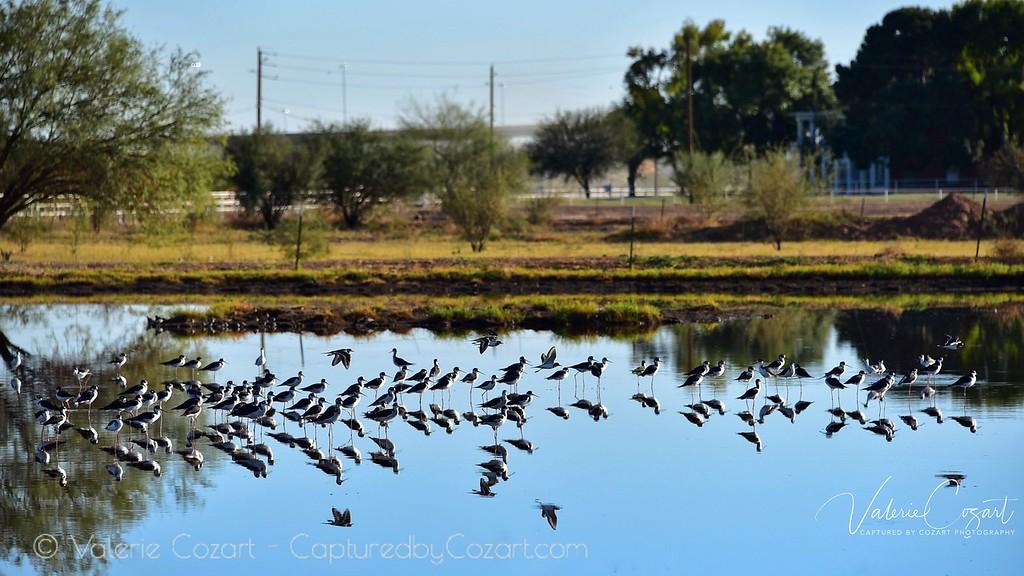 Gilbert Water Ranch Birding Nov 2017