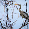 Great Blue Heron craning around in a tree.