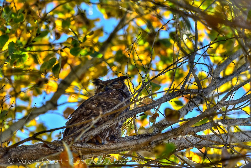 Great Horned Owl Dec 2017
