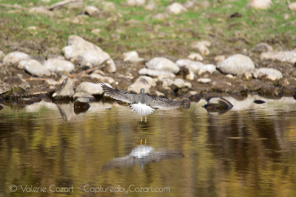 Greater Yellow Legs in Flight