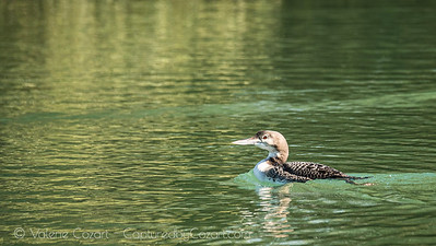 Loon at Red Mountain Park