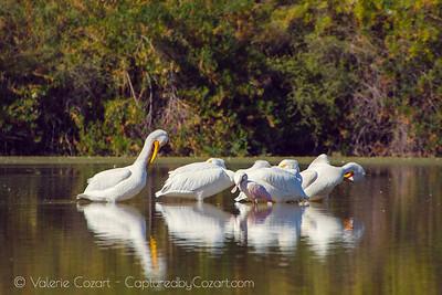American White Pelicans, Roseate Spoonbill