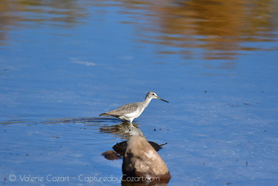 Yellow Legs Shore Bird