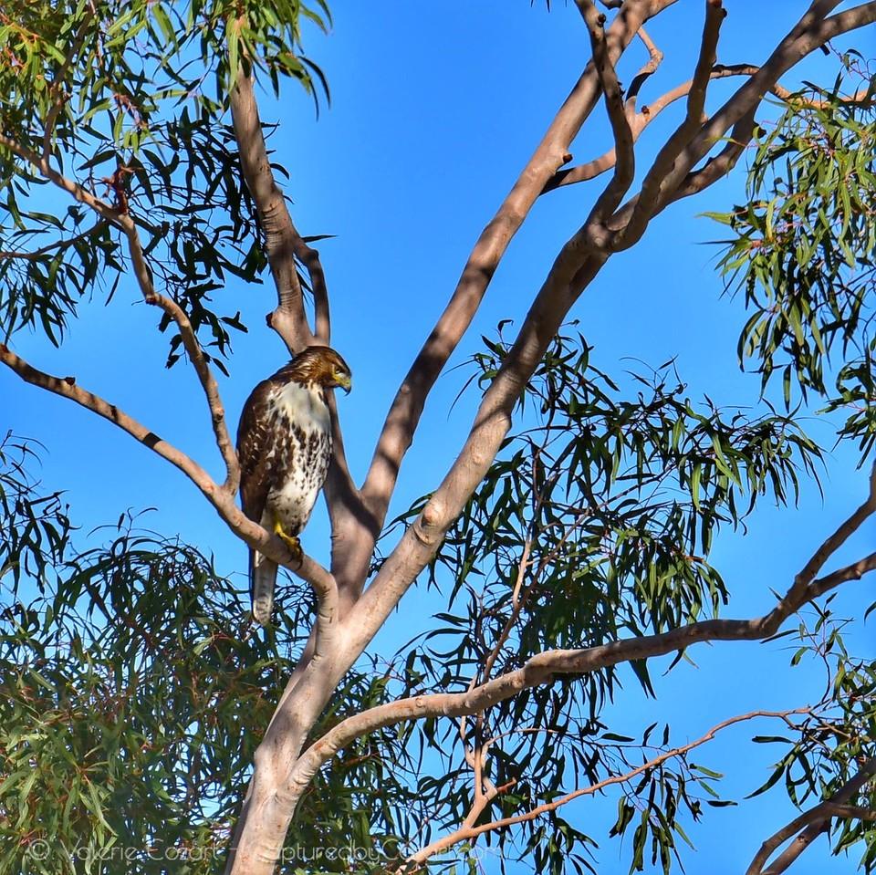 Red Tail Hawk Nov 2017