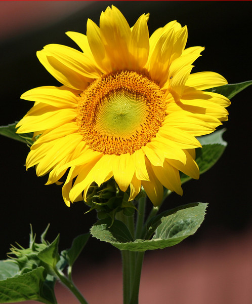 sunflower simple