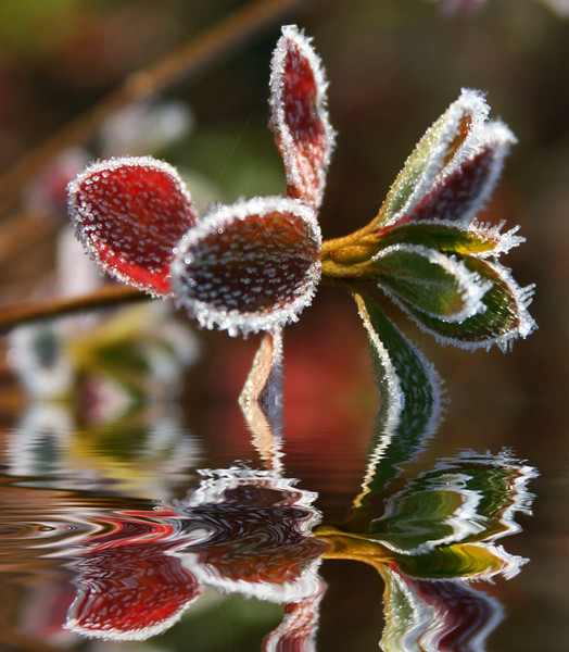 Red and Green Frosted Plant Flooded