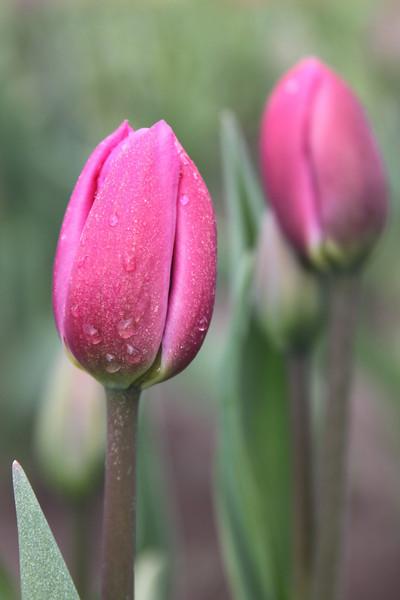 Tulips11