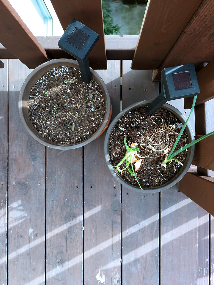 Grow your own organic potatoes and onions from your kitchen scraps.