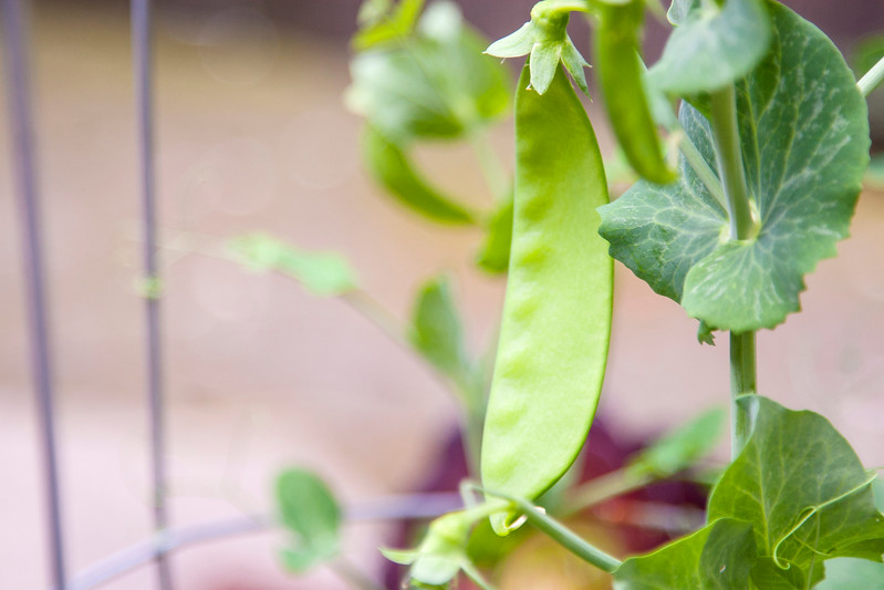 California Grown, Organic Snap Peas