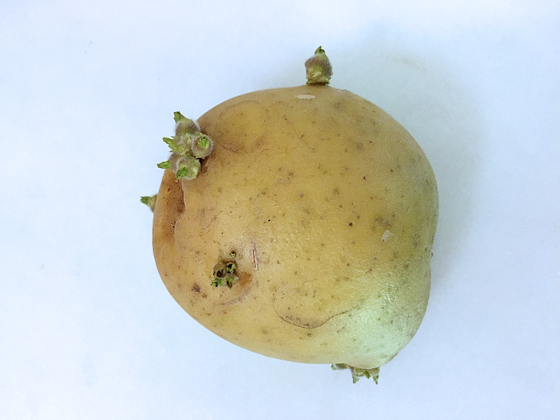 Don't compost your sprouted organic potatoes. Plant them!