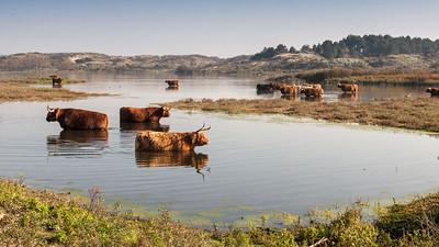 Highland cattle in Zuid-Kennemerland