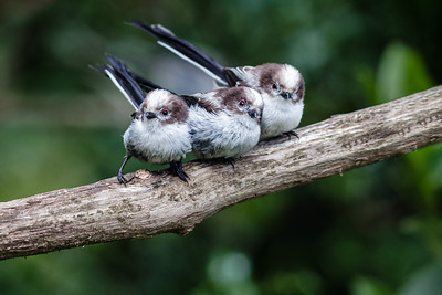 Three Long Tailed Ts
