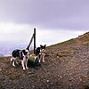 Grisedale Pike : The Summit : Dogs On Top