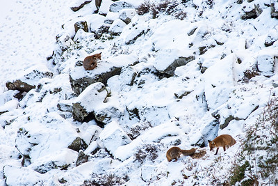 Foxes at Crag Lough