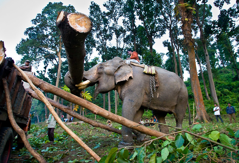 Elephant lifting timber. Road work, Jagi Road. Assam.
