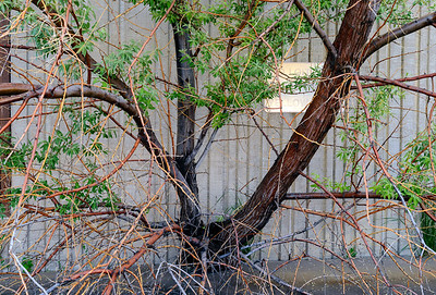 Tree Out of Building #2, North Facility, Wyoming State Penitentiary, Rawlins, WY.