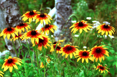 """Browneyed Susans"". Photographed at Splitrock State Park, North Shore of Lake Superior, Northern Minnesota."