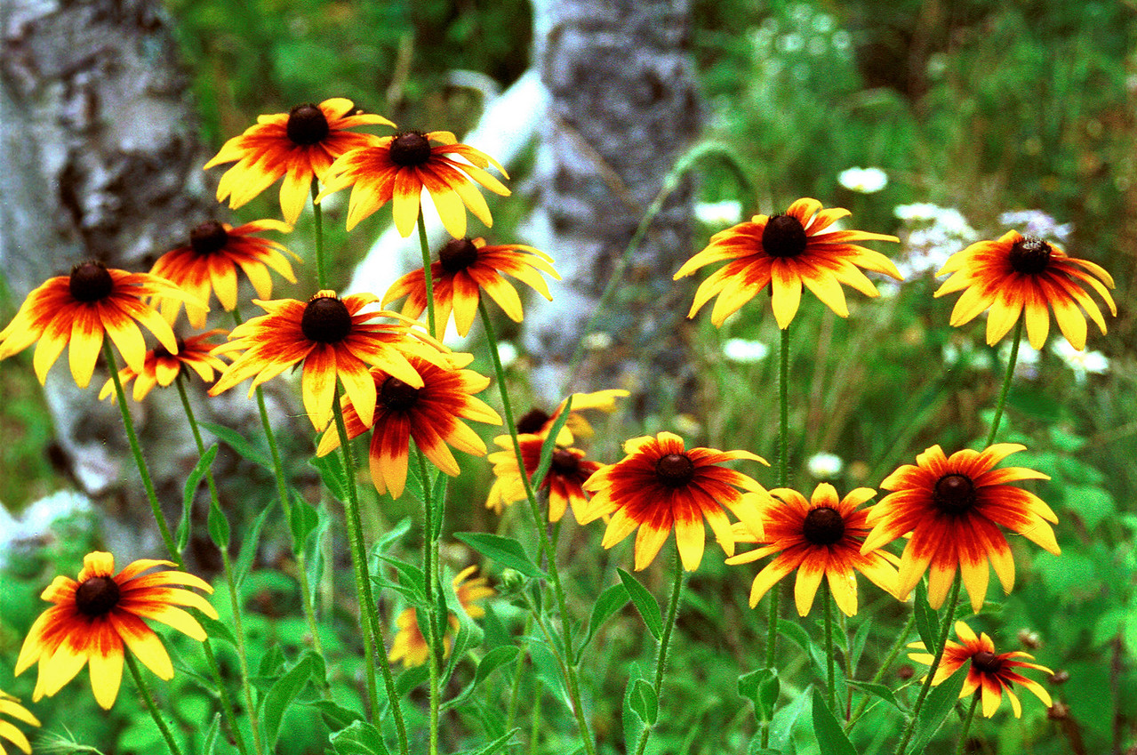 """""""Browneyed Susans"""". Photographed at Splitrock State Park, North Shore of Lake Superior, Northern Minnesota."""
