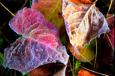 Frosted Leaves. Photographed on a very cold morning in the middle of September somewhere in the Boundary Waters Canoe Area Wilderness. Very soon after I photographed these leaves, the frost melted away in the morning sun. Photographed with a Nikon N90s film camera on Kodak 200 speed negative film Copyrighted Michael Maltese 2009.
