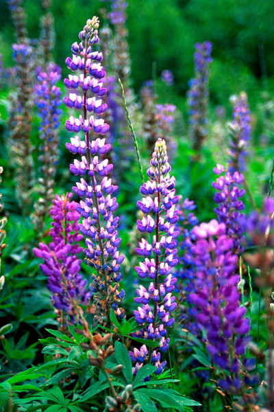 Poetic Lupines. This image was taken along the Sawbill trail near the BWCA in late June. It is one of my favorite images of Lupines, and I was lucky to find it, as great compositions of lupines are hard to find. Nikon N90s film camera Fuji provia film.