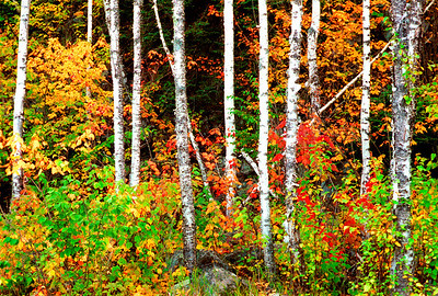 Beautiful Birches.  Photographed at Splitrock State Park during the peak of fall color in 2004, That year the poplar trees and sugar maples peaked at the same time which is .unusual.
