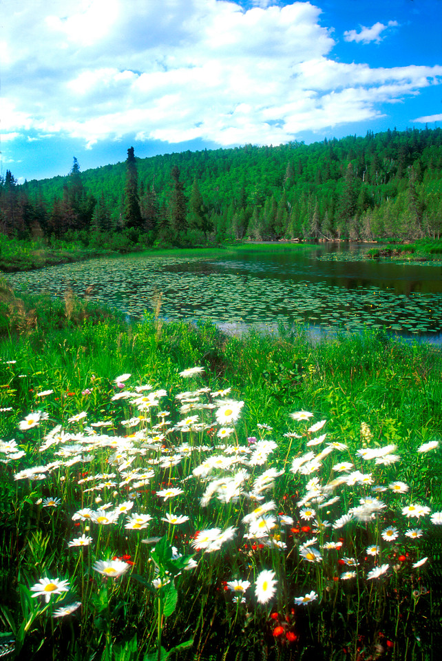 """Baptism River Spring"". Photograph of the Upper Baptism River, Dasies and. Buttercups  near finland, Minnesota."