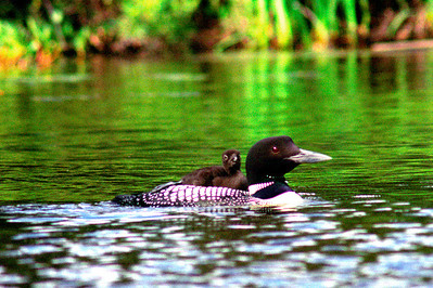 Mother Loon and Baby. Photographed on Sawbill Lake in the BWCA. I spent a wonderful July afternoon on Sawbill Lake photographing this family of loons. Not seen in this photograph was the father of this pair. He was off fishing and would show up from time to time with fresh fish for the baby. He would sometimes switch with the mother loon and let her do some fishing for dinner. It was an amazing experience and I hope to do again soon. Photographed with a Nikon N90s film Camera and Fuji 400 negative film.
