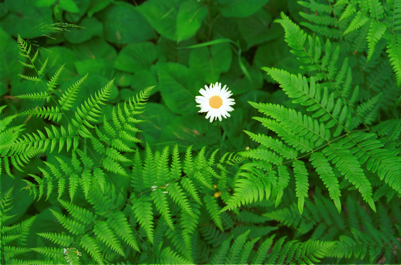 """""""Ferns and Daisy"""". I came across this image while getting lost on the backroads near the BWCA.. Taken with a Nikon N90s film camera and Fuji 200 color negative film."""