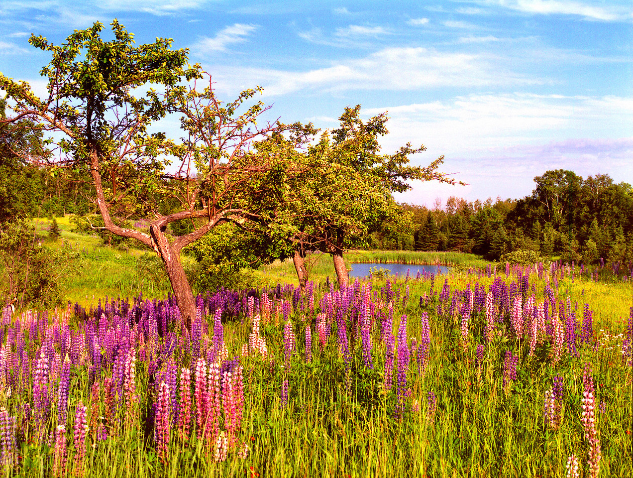 """Apples and Lupines"" This scene was photographed on the North Shore of Lake Superior near Lutsen, Minnesota."