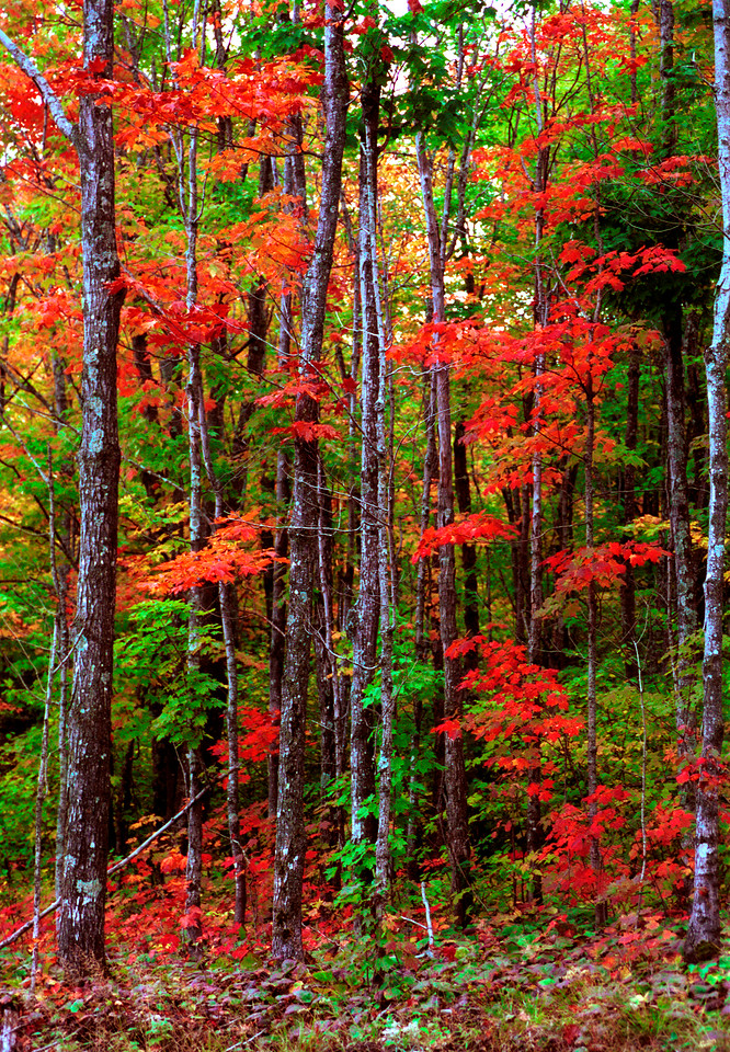 """Christmas Came Early"" Sugar Maples in full fall color, Sawtooth Mountains, North Shore of. Lake Superior, Minnesota."