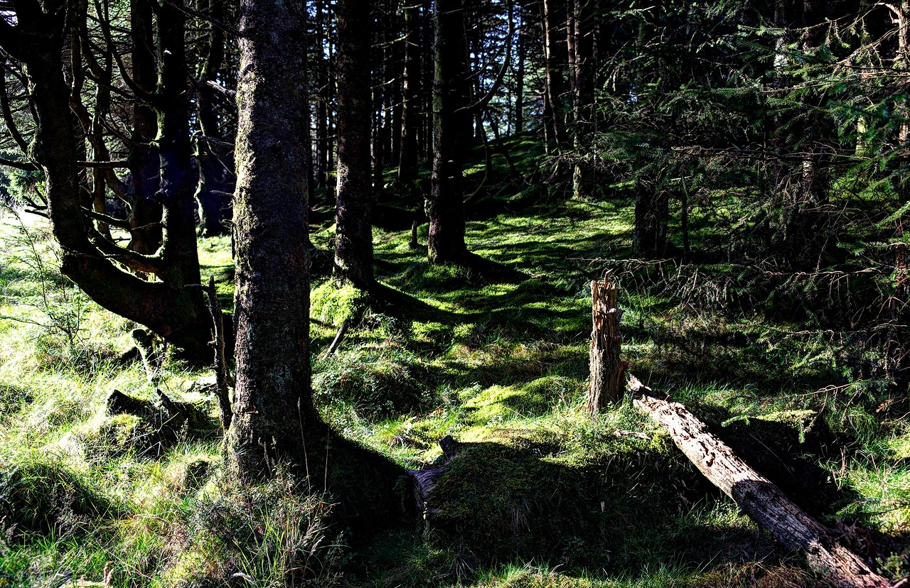 Forest on Ullister Hill.