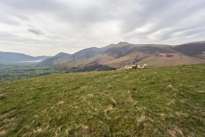 Latrigg : Sheep and Skiddaw