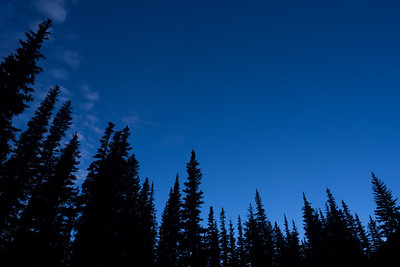 Noble Fir Twilight