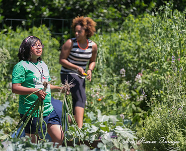 The students are harvesting the garden  at the 2016 Spring White House Kitchen Garden Harvest on June 6, 2016