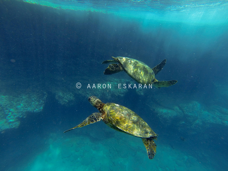Hawaiian Green Sea Turtle Dance