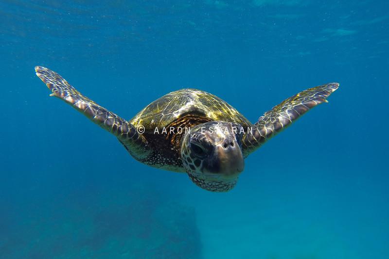 Hawaiian Green Sea Turtle Swimming Straight into Camera