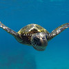 Hawaiian Green Sea Turtle Swimming Straight into Camera