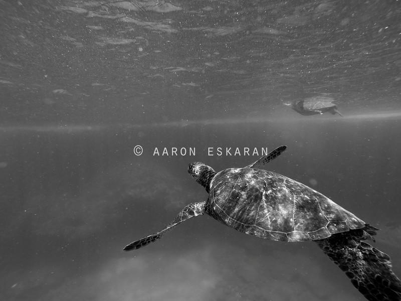 Hawaiian Green Sea Turtle Swimming towards Reef Black and White