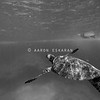 Hawaiian Green Sea Turtle Swimming towards Reef Black and White