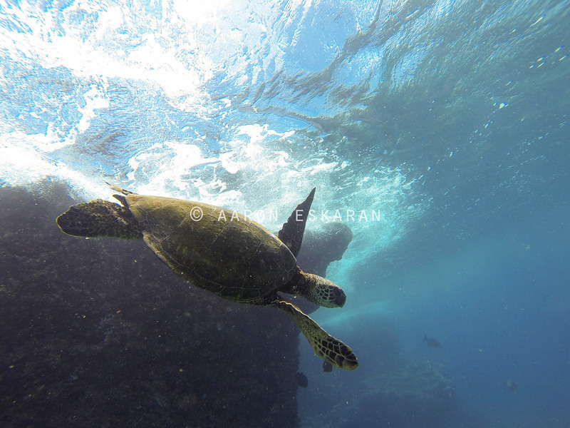 Hawaiian Green Sea Turtle Diving
