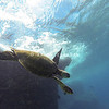 Hawaiian Green Sea Turtle Diving