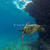 Hawaiian Green Sea Turtle at Edge of Reef