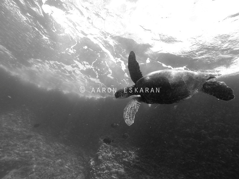 Hawaiian Green Sea Turtle With Surface and Reef as Backdrop Black and White