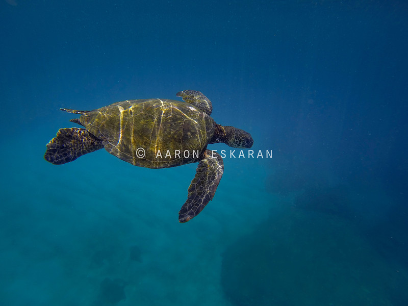 Hawaiian Green Sea Turtle Against Blue Ocean Background