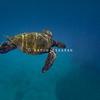 Hawaiian Green Sea Turtle Against Blue Ocean Background