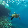 Hawaiian Green Sea Turtle Majestic